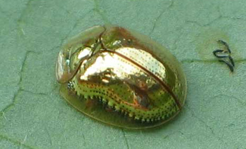 golden_tortoise_beetle02